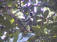 Langur in the Trees
