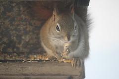 Juvenile Red Squirrel at Birdfeeders (Saline, Michigan) - March 2, 2015 (cseeman) Tags: winter squirrel michigan birdfeeder feeder seeds perch hungry saline redsquirrel redsquirrel03022015
