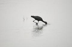 Eating and Drinking (wenzday01) Tags: park morning travel bird nature animal nationalpark nikon wildlife sigma safari ibis botswana chobe kasane gamedrive glossyibis chobenationalpark d7000 chobechilwero nikond7000 sanctuaryretreats 120400mmf4556afapodgoshsm