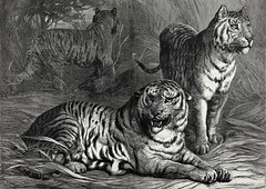 1876 Paradise Lost- ENDANGERED, NEAR EXTINCT, Royal Bengal Tiger in the tropical bush, Engraving Artist Bouverie Goddard, large double-folio, original Antique engraving print, KrooneGallery, The Tiger Project (Kroone's Art Gallery) Tags: world original bali harpers project print lost george bush paradise artist near antique indian south tiger wide chinese large royal double national engraving tropical wikipedia caspian endangered siberian weekly folio javan bengal extinct geographic sumatran wwf goddard fund 1870 youtube indochinese bouverie malyan kroonegallery gorbetts