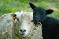 Lamb and its mum cuddling - Edinburgh, Scotland (trumbit) Tags: summer white black wool animal canon mammal scotland edinburgh sheep farm mum lamb mummy whiteandblack 1000d