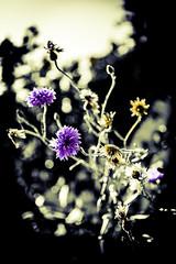 Entangled (Insomnious247) Tags: entangled insomnious247 coffeepleaze flowers