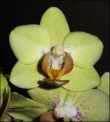 Little Kolobri Orchid (ninin 50) Tags: fiori compleanno cena orchidea ninin osteriamistral