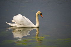 The beautiful swan ! - May 2016 (I.T.P.) Tags: york castle swan howard