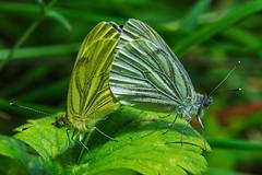 Green-veined Whites (mishko2007) Tags: pierisnapi kilbrittain ireland 105mmf28
