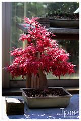 Ahorn Bonzai (t1p2m3) Tags: tree acer arbre baum bonzai ahorn