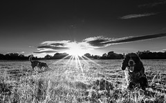 Sunny happy dogs (jayneboo) Tags: friends dogs sunshine ed fuji play flare fields rays cockerspaniel bertie edison xpro2