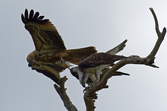 I shall not be moved 2 (audiodam) Tags: australianbirds australianwildlife raptors osprey kite whistlingkite