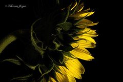 Deep in Thought 0719 Copyrighted (Tjerger) Tags: nature beautiful beauty black blackbackground bloom closeup flora floral flower green macro petals plant portrait stem summer sunflower wisconsin yellow natural deepinthought thought diamondclassphotographer flickrdiamond