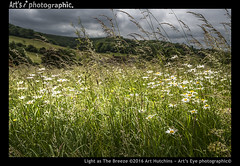 Light as The Breeze (Art's Eye photographic) Tags: bucolic landscape flora natural meadows pastures woodland downland hedgerows daisy grasses arable wildflowers oxeyedaisies westsussex