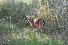 summer baby (Claudia Knkel) Tags: oregon fawn blacktaileddeer