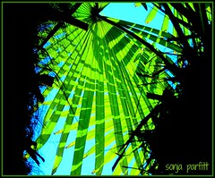 looking up (Sonja Parfitt) Tags: westendbarclaydemanst vancouver tree palm