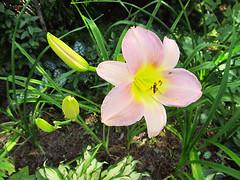 Flowers - (PL) Liliowiec (transport131) Tags: ogrd garden summer flower kwiat lily hemerocallis liliowiec