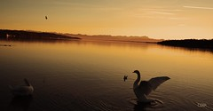Starnberger See (czar_fernando) Tags: starnberger see bayern alpen alps bavaria starnberg ufer swan schwan bird vogel sunset sunrise deutschland germany