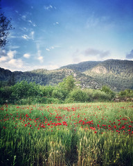 Field with poppies (VillaRhapsody) Tags: rural spring flowers kayaky fethiye field poppies green mountains hills challengeyouwinner cyunanimous