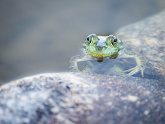 Hiding (Seth GaleWyrick) Tags: olympus omd em5 40150f28 frog amphibian wildlife animal pond water montana lake green