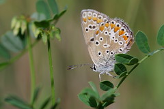 Just a Small Butterfly [Explore 2016-08-08] (Doundounba) Tags: pentax k3 pentaxdfa100mmf28macro butterfly papillon insect insecte montral qubec parcnature parcnaturedelapointeauxprairies closeup polyommatusicarus commonblue bleucommundeurope