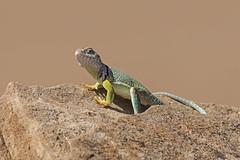 Eastern Collared Lizard (Stephen J Pollard (Loud Music Lover of Nature)) Tags: lizard lagarto lagartijadecollardelaltiplano crotaphytuscollaris herp reptile rptil wildlife fauna
