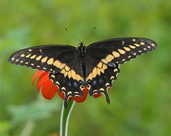 AFC_4701_8x10 (thorntm) Tags: blackswallowtail easternblackswallowtail mexicansunflower butterfly t16080801 mdtpix nikond800 1001nights autofocus allnaturesparadise gnneniyisi thebestofday nikonflickraward macro
