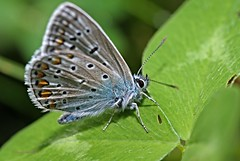 Bluling mnnl. 2 (DianaFE) Tags: dianafe insekt pflanze schmetterling tiefenschrfe schrfentiefe makro freihandmakro