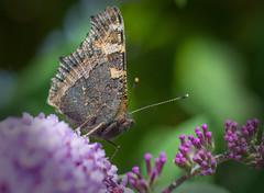 Butterfly (tramsteer) Tags: butterfly tramsteer buddleia devon uk