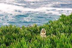 Beach Squirrels of La Jolla Cove (axi11a) Tags: lasocal losangeles squirrel beach lajolla cove ocean sea chillin