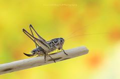 Platycleis affinis (Samuele81) Tags: macro macrofotografia ngc nikon natura nature cricket grillo tamron 90mm