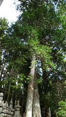 DSC00433 (derek_2001) Tags: okunoincemetery koyasan buddhism japan cedars