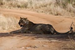 After hunting (cabano-82) Tags: lioness hunt kenya nikon d60 safari savana