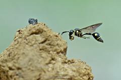 MasonWASP (baloxp1) Tags: nature insect wildlife wing flying flight freezing freeze inflight macrofreezing wasp awesome smallworld w