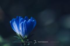Blue //  (zwei_kilo_gramm) Tags: sapporo  october  hokkaido  nature flower 10 autumn    japan  bokeh