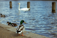 Ducks at Hyde Park (geravillag) Tags: unitedkingdom duck england nature eos750d lake t6i hydepark london uk canon splittone park birds rebelt6i britain canon750d