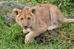 African lion cub - Olmense Zoo (Mandenno photography) Tags: dierenpark dierentuin dieren animal animals lion lions leeuw leeuwen lioncub leeuwtje olmense olmensezoo olmen balen belgie belgium bigcat big cat cub african ngc
