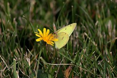 Male Common Sulphur Butterfly Feasting On Cat's Ear Blossom Yet Again 005 - Colias Philodice (Chrisser) Tags: insects insect butterflies butterfly commonsulphur coliasphilodice nature ontario canada canoneosrebelt1i canonef75300mmf456iiiusmlens pieridae