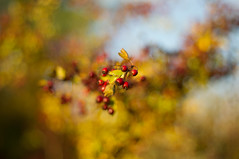 Berry Gestalt (ecstaticist - evanleeson.com) Tags: nature berries berry hawthorne tree bokeh background blue sky 50mm f14
