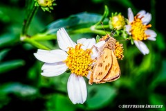 10-07-2015_16.07.32--D700-22-device-2000-wm (iSuffusion) Tags: d700 tampa tokina100mm28macro butterfly florida insects macro moth nikon gibsonton unitedstates us