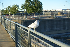 Seagull @ Old Port @ Ville-Marie @ Montreal (*_*) Tags: montreal mtl canada quebec northamerica 2016 autumn fall october city sunny morning villemarie automne vieuxport oldport port