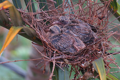 Zenaida auriculata (Wilmer Quiceno) Tags: zenaidaauriculata eareddove torcaza paloma aves birds birding nest nesting medellin columbidae