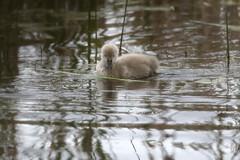 Cygnet (blachswan) Tags: winterswamp mullahwallahwetlands wetland wetlands ballarat victoria australia lucas cygnet water ripples spring