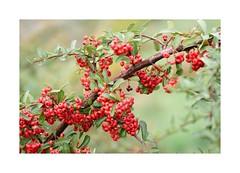 red fruits (mgarcacalvo) Tags: red naturaleza nature fruits leaves hojas rojo frutos tamron90mm