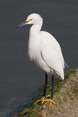 IMG_5846.jpg Snowy Egret (Egretta thula) (ldjaffe) Tags: snowyegret egrettathula sanlorenzoriver