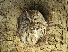 Whoooo Did I Find (Diane Marshman) Tags: autumn brown white tree bird fall nature canon season hole pennsylvania wildlife gray feathers tan powershot pa owl eastern morph northeast screech sx50