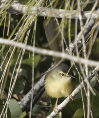 Yellow-bellied Prinia (Prinia flaviventris) (Peter du Preez) Tags: bird taiwan wetlands prinia avian yellowbellied chaiyi aogu flaviventris