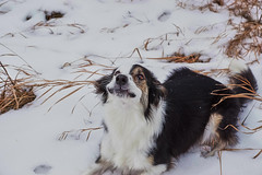 Molly's pre-bark face (Valley Dweller 68) Tags: dog snow canada silly funny none walk sony bark bordercollie prairie pup a77ii
