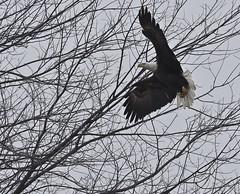 0598L&D14b (preacher43) Tags: river mississippi illinois lock dam 14 bald iowa eagles