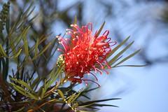 Exoticamente linda (I) (Vagner Eifler) Tags: flores brasil natureza flor portoalegre riograndedosul pontagrossa centrosocialedetreinamentobanrisul
