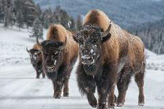 The Lineup (dbushue) Tags: winter snow mountains nature buffalo nikon wildlife valley yellowstonenationalpark wyoming bison roadblock ynp 2014 lamarvalley specanimal dailynaturetnc14 photoofthedaynwf14 dailynaturetnc15 photoofthedaynwf15