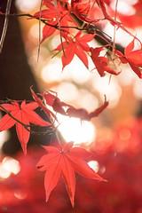 DSC_7842.jpg (d3_plus) Tags: park street autumnfoliage sky nature japan garden scenery outdoor fine sunny 日本 streetphoto yokohama 紅葉 自然 空 横浜 風景 j4 公園 三渓園 sankeien 路上 sankeiengarden ストリート 晴れ ニコン nikon1 屋外 路上写真 1nikkorvr10100mmf456 ニコン1 nikon1j4 ニコンワン