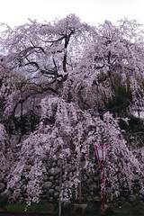 sakura '13-5 (転倒虫) Tags: pink flower nature japan night cherry spring falls tango 桜 日本 sakura 花 春 夜桜 丹後 枝垂桜 枝垂れ桜 sidare sidaresakura