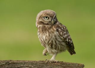 Little Owlet - Athene noctua